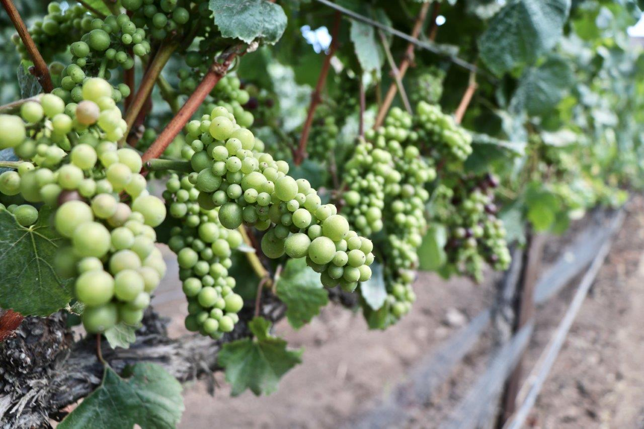Chardonnay Grape Vines
