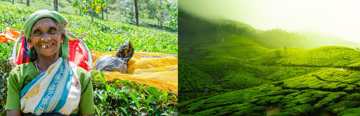 Sri Lanka Lady Picking Tea in a Green field