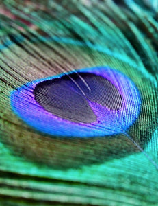 Indigo Peacock Feather