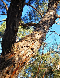 Stringybark tree [Image credit: slowgardener]