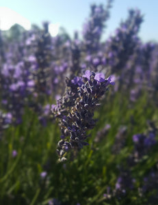 Lavender flowers, close-up