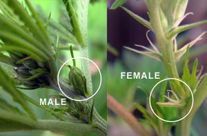 Male vs. Female Cannabis: How to Determine the Sex of Your Plant