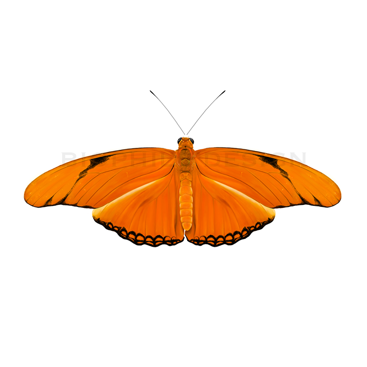 Dryas iulia Butterfly Print