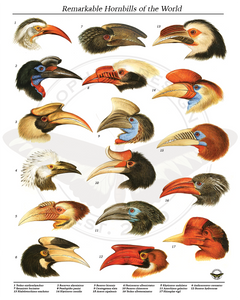 Remarkable Hornbills of the World Poster