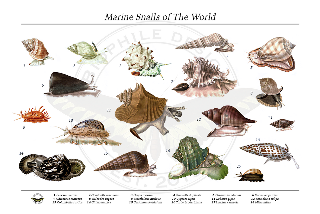 Marine Snails of the World Poster