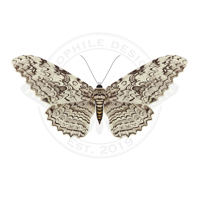 White Witch Moth (Thysania agrippina) Print