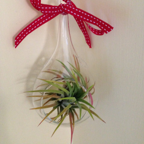 Air plant ornament: small teardrop B