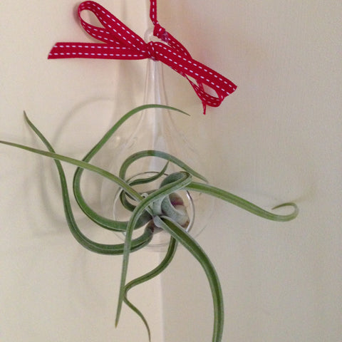 Air plant ornament: small teardrop D
