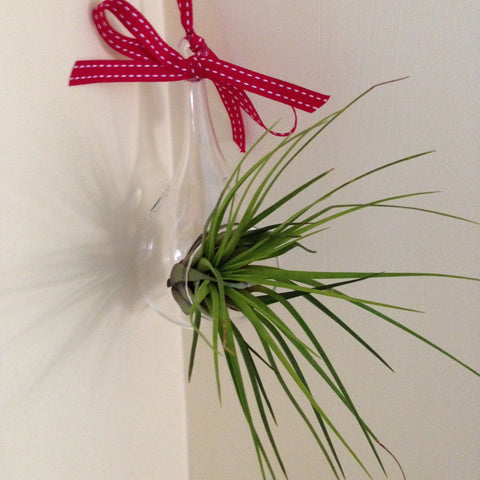Air plant ornament: small teardrop E