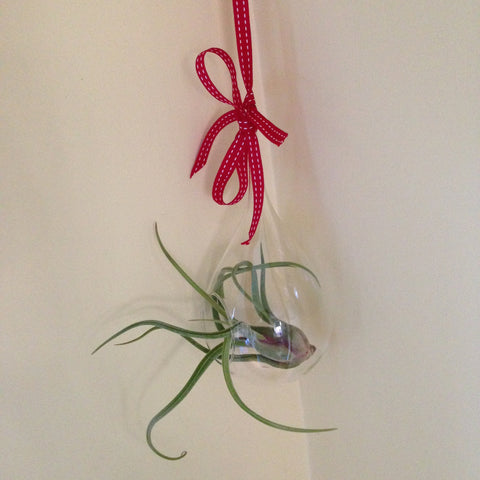 Air plant ornament: large teardrop D