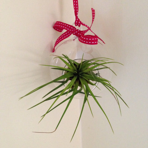 Air plant ornament: round E