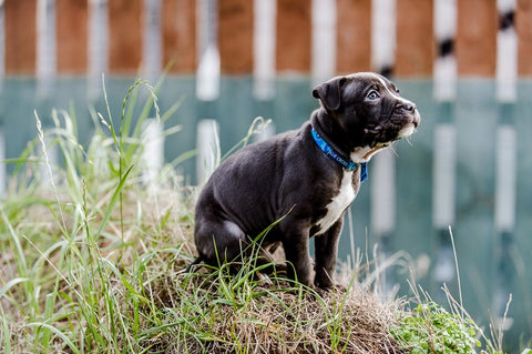 Image of a blue cross puppy