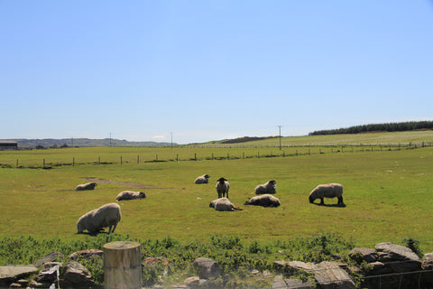 Image of sheep lay in a field