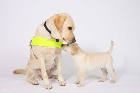 Image of a guide dog and puppy