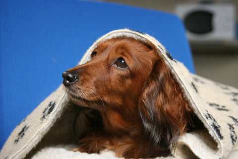Dog sheltering under blanket