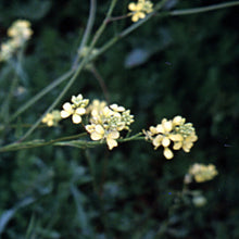Load image into Gallery viewer, Bach flower mustard