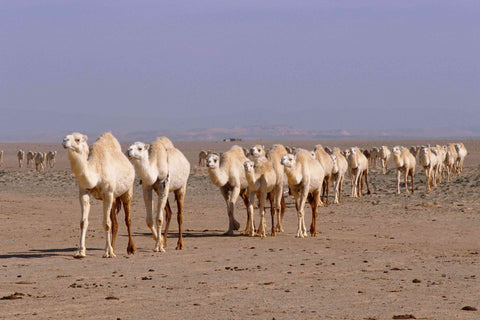 A Herd of White Camels