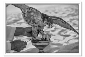 Framed Canvas Falcon's Prey