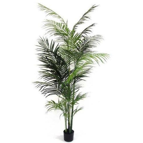Potted Areca Palm 2.1m