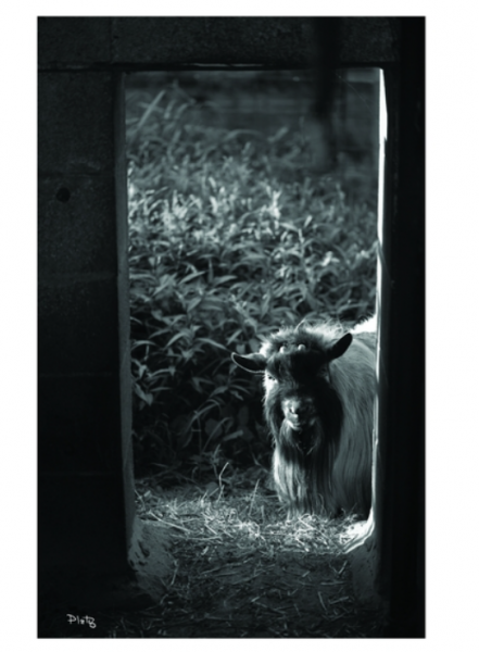 Peek A Boo Goat Canvas - Bloom'n Things