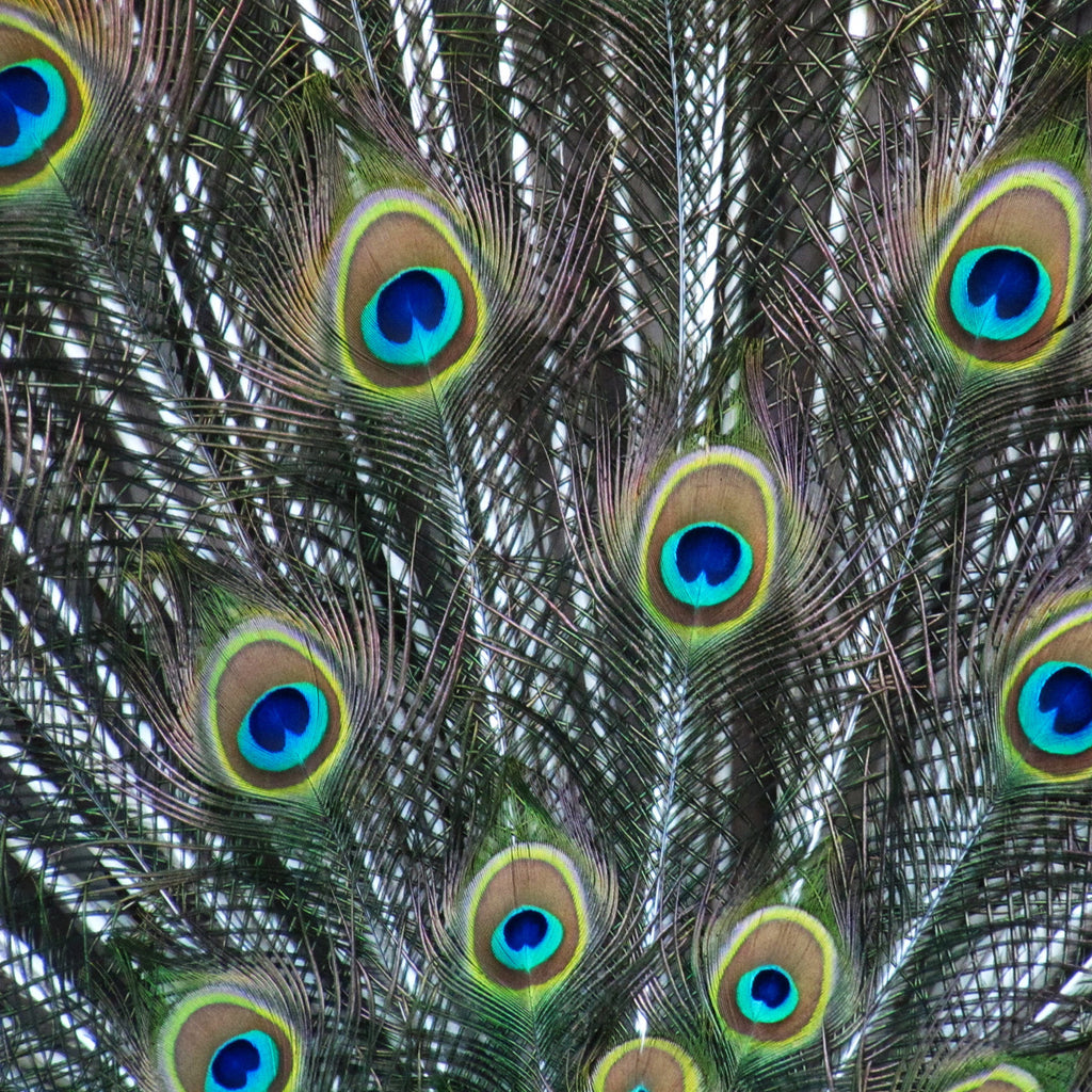 peacock feather pattern
