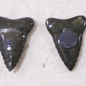 Sharks Tooth Magnet