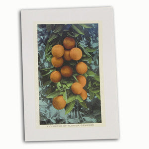 A Cluster of Florida Oranges on Tree