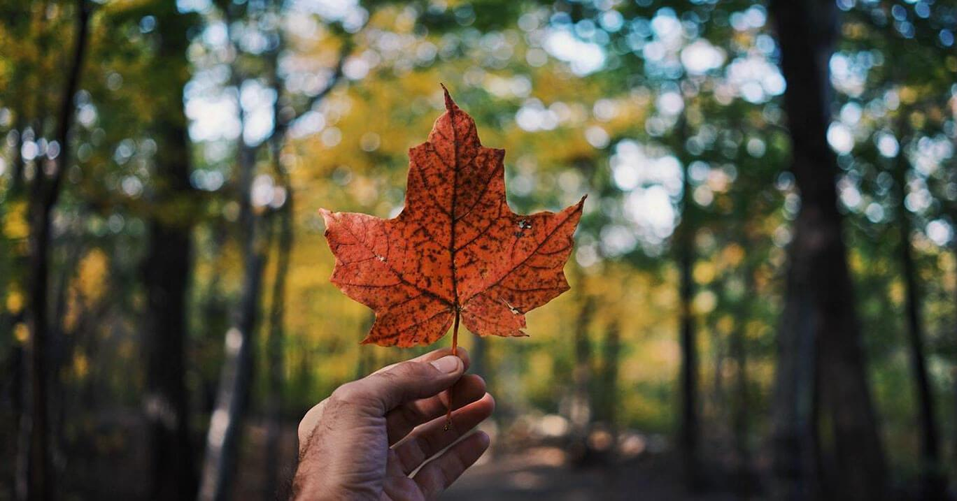 A Canadian maple leaf, orange in autumn weather, held in a man's hand.