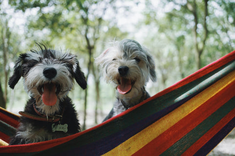 Two small, grey dogs smiling in a multi-coloured hammock