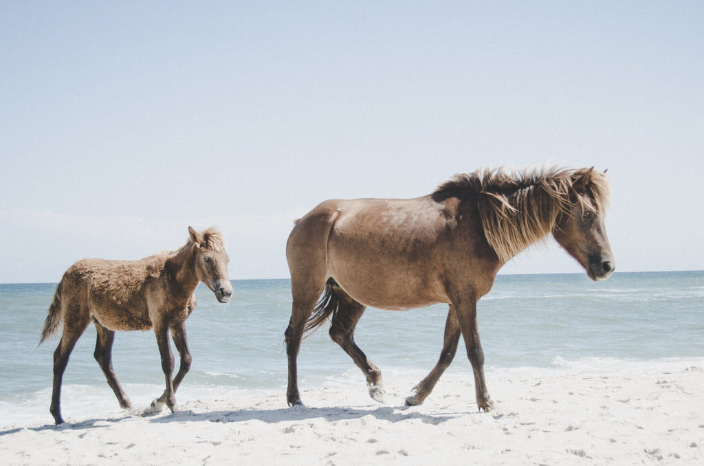 Two brown horses on the beach during the daytime at Assateague Island National Seashore