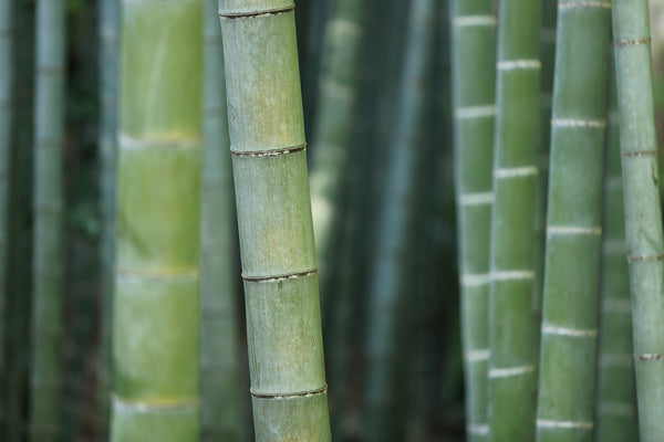 A forest of healthy, green bamboo shoots, perhaps destined for use as a hammock stand.