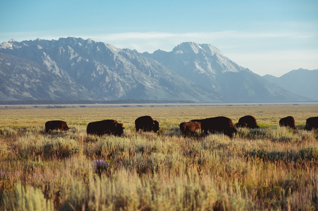 bisons dans les plaines du parc national Grand Teton