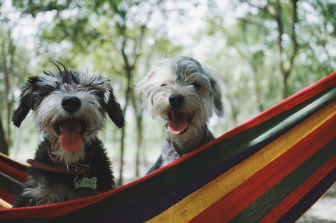 Two Shih Tzus in a colourful Brazilian hammock.