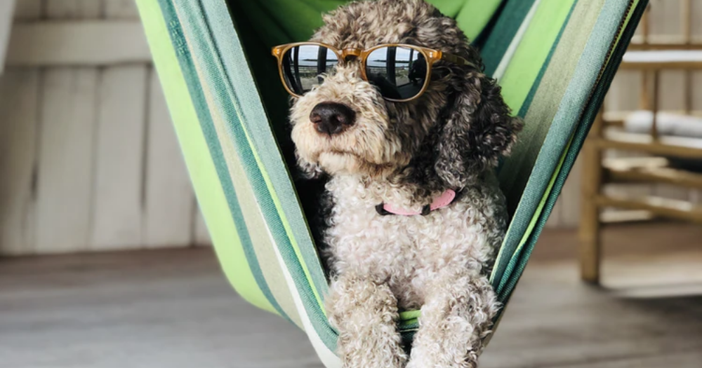 dog hanging in hammock indoors with sunglasses on