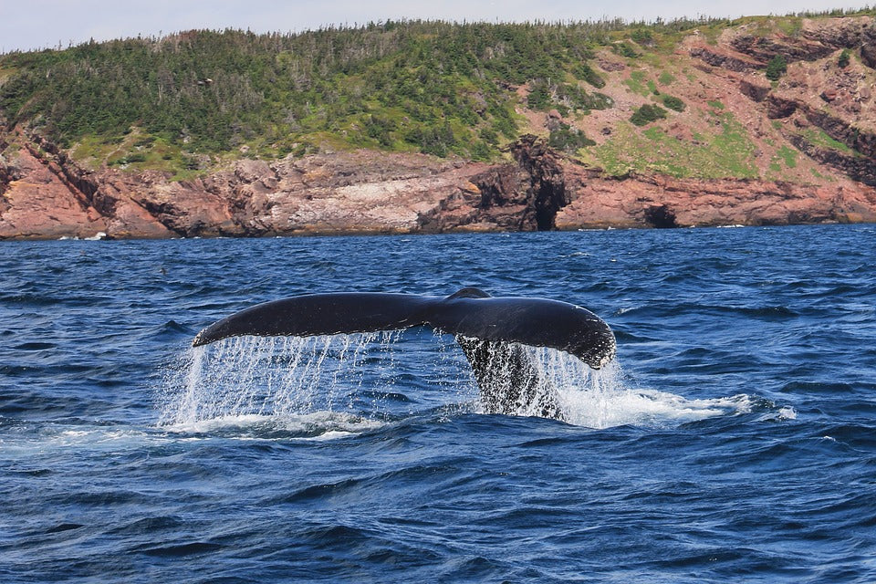 A whale's flukes reach out of the water off the coast of Gros Morne Park in Newfoundland.