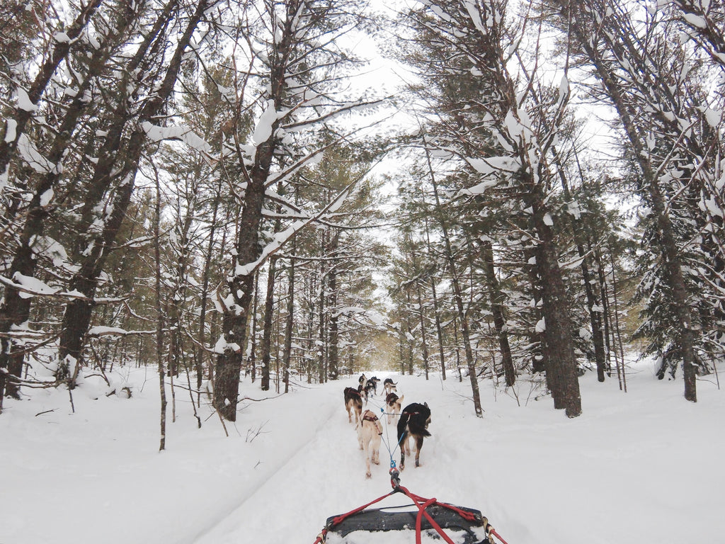 Pack of dogs pulling sled in White Mountain National Forest