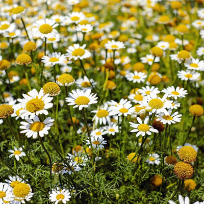 Five uses of Chamomile