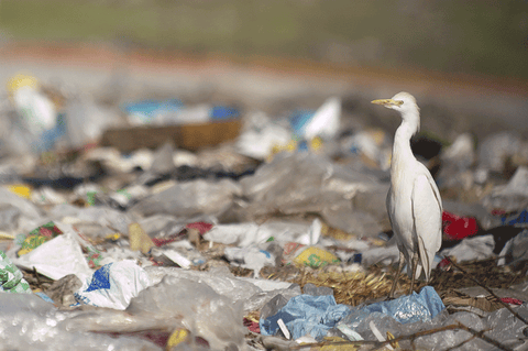 A white bird standing on a pile of plastic trash