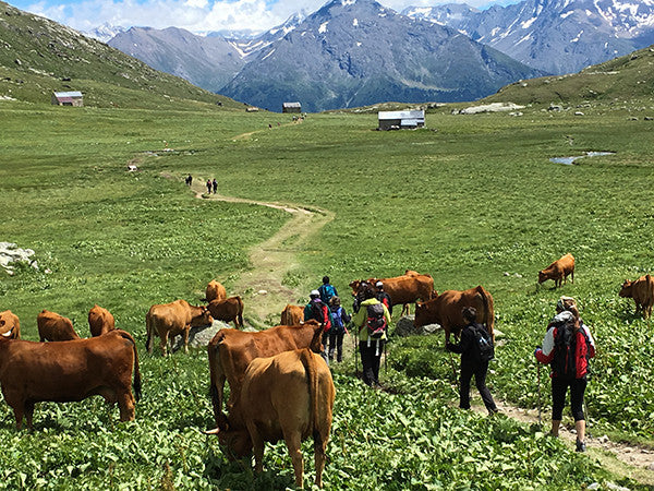 Cows in the French Alps.