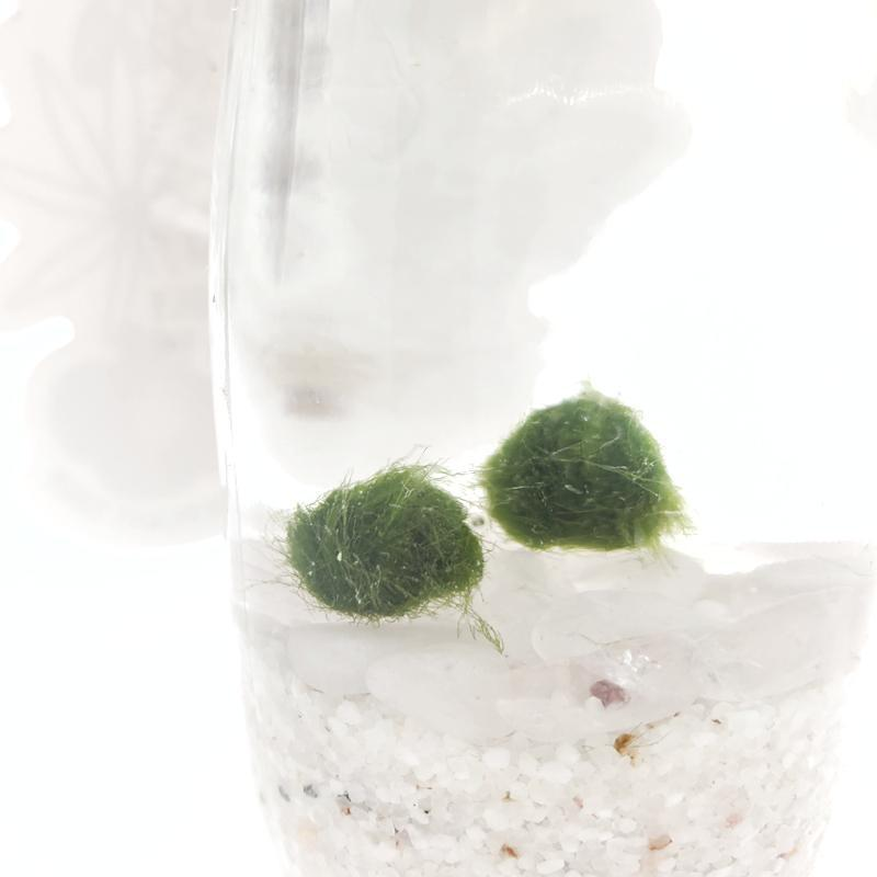Marimo Moss Ball Pair by Urban Plant Shop