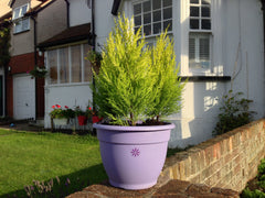 Outdoor conifer planters delivered to Essex, London and Cambridge