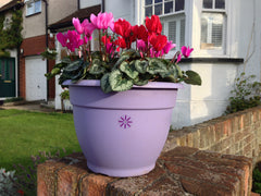 Cyclamen round planters delivered to Essex, London, Cambridge and Herts.
