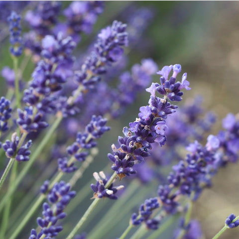 English Lavender Diffuser