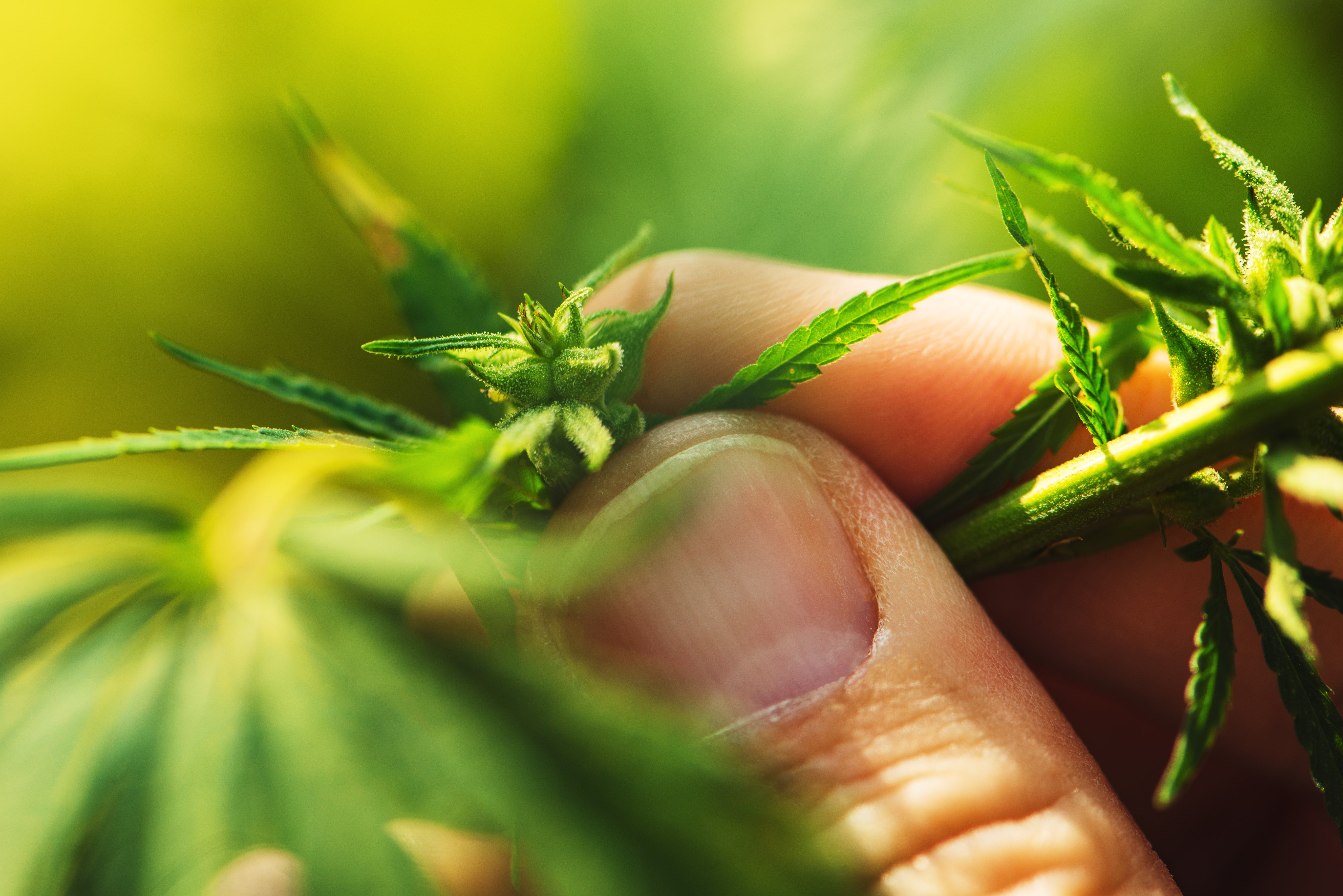 Marijuana vs. Hemp: Several Things To Help You Tell The Difference