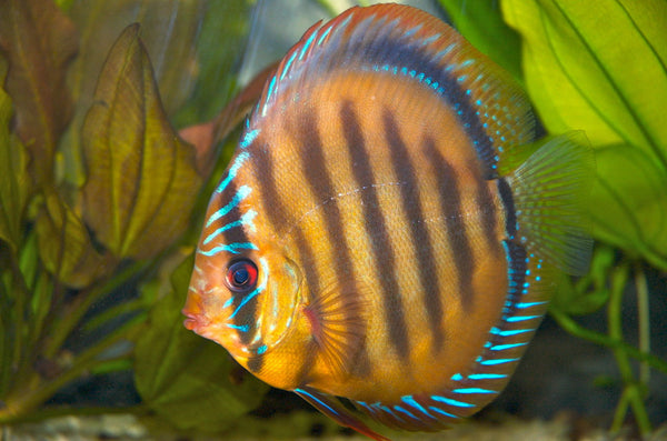 The Common Discus