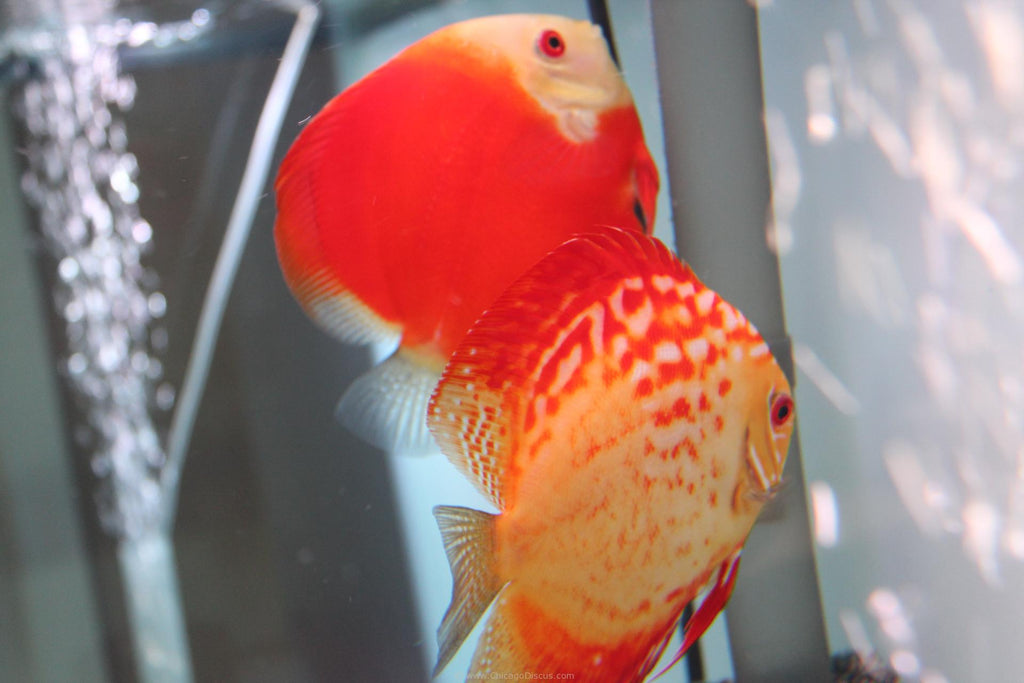 How to tell sex of discus