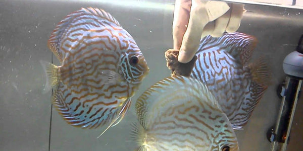 Discus Fish Feeding & Nutrition