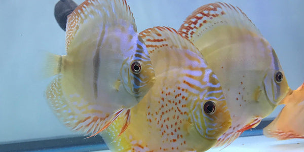 Discus Fish History & Origin