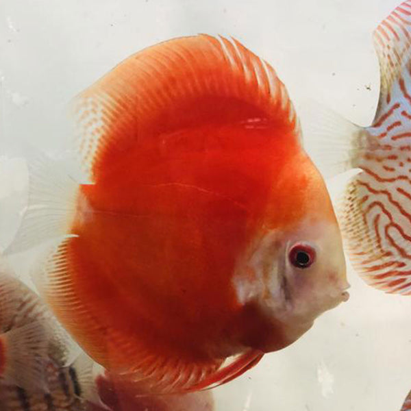 Fiji Red Discus