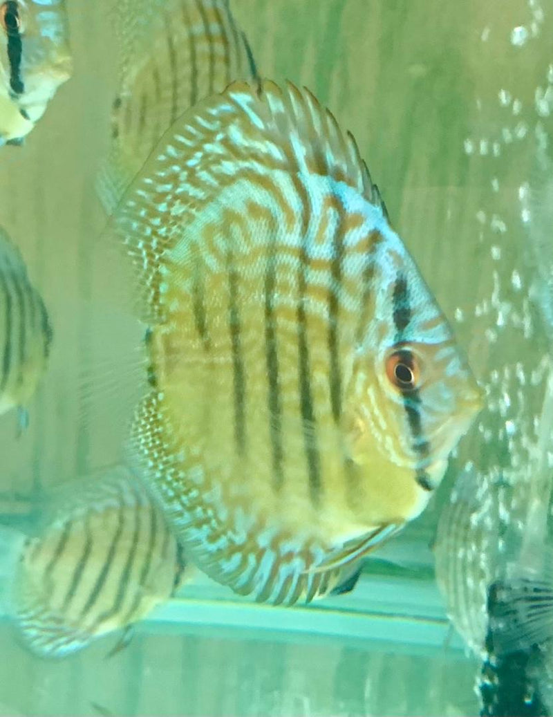 Yellow Belly Sky Blue Discus